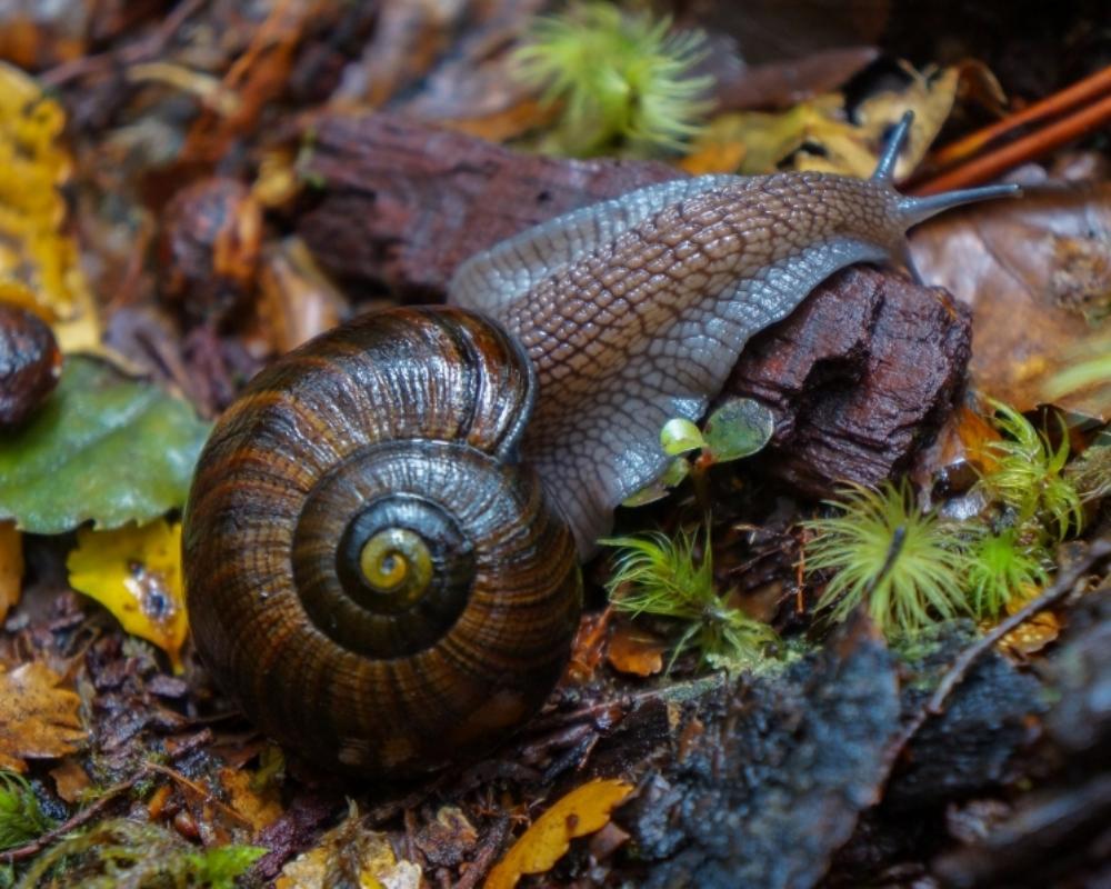 NZ Native Giant land snail